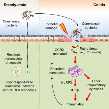 Distinct Commensals Induce Interleukin-1β via NLRP3 Inflammasome in Inflammatory Monocytes to ...