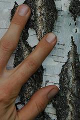 Tre dita su una betulla