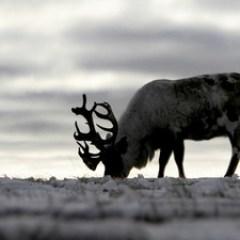 Storia di una renna qualunque