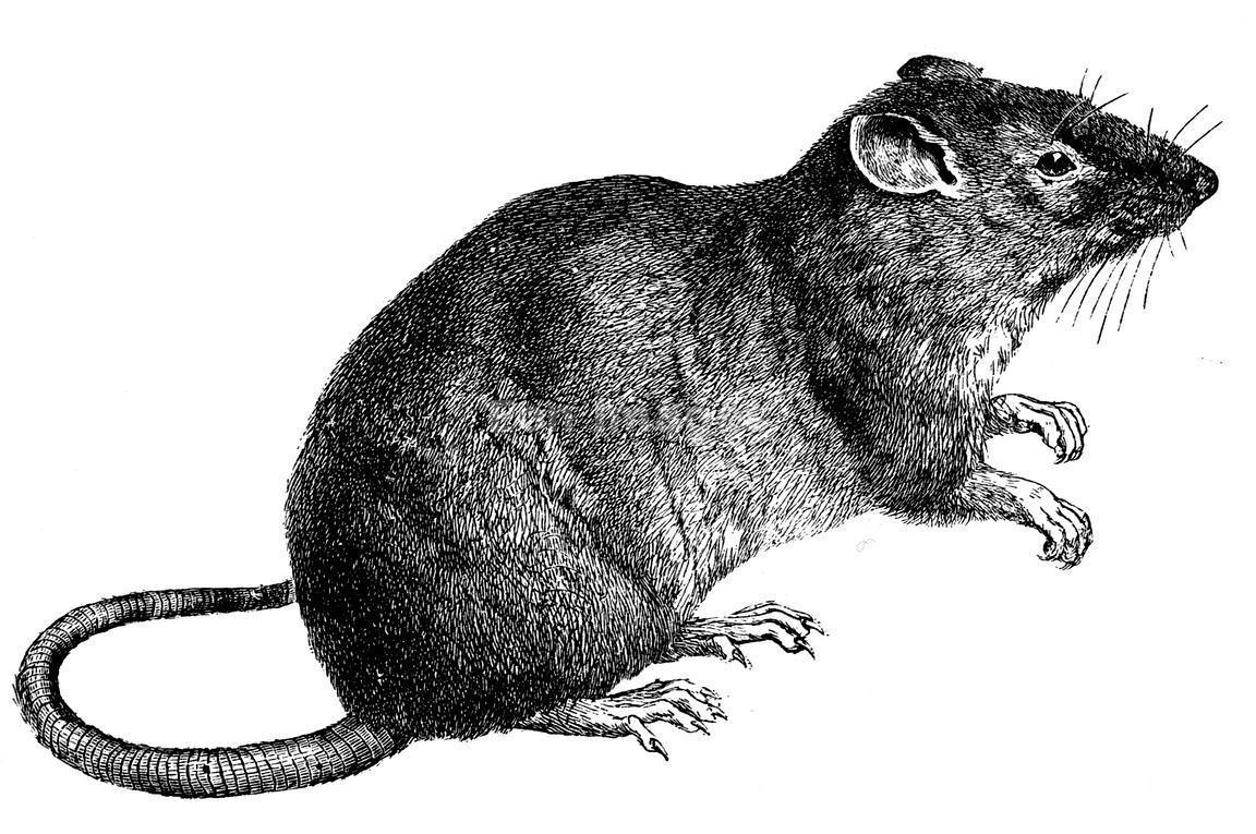 Simbolismo del topo