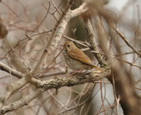 Hermit Thrush in the thicket