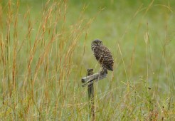 Burrowing Owl - Library