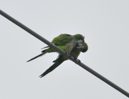 Monk Parakeets in Love