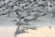 One Good Tern Deserves Another - Forster's, Common, Sandwich