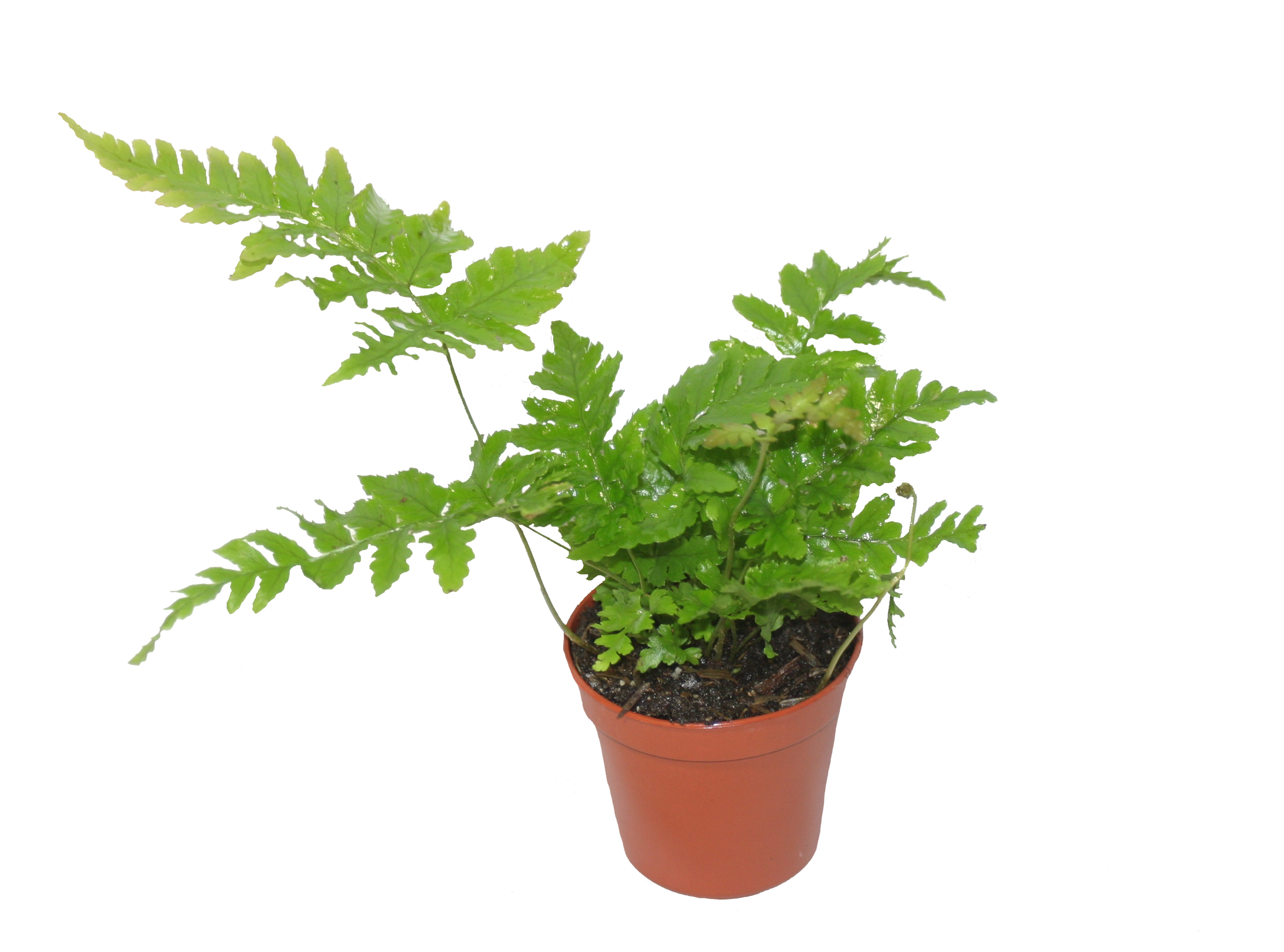 The Autumn Fern Pixie Plants Central Florida Ferns Silver Lace Fern Soil 655 Silver Lace Blvd Fernley Nv houzz-03 Silver Lace Fern