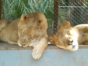 Lion Boys K Mulvihill