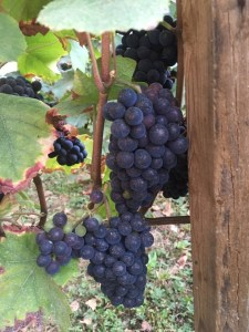 Grapes on the north side of rows haven't suffered