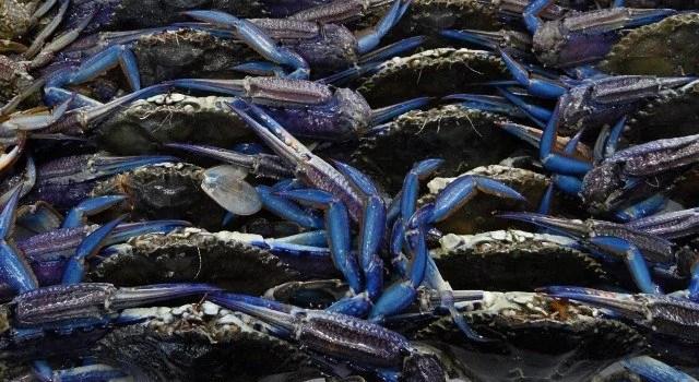 blue crabs at sydney fish market