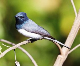 Leaden Flycatcher14