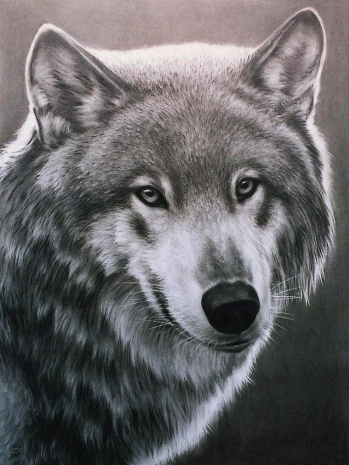 Wolf Face, charcoal