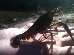 020313Crayfish_2