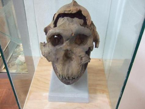 Zinjathropus Skull, National Museum in Dar es Salaam