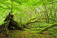 albero sradicato
