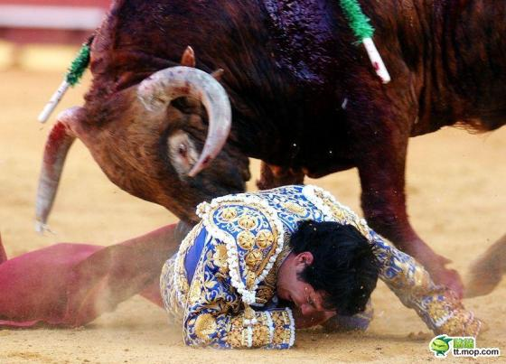 A bull attacks a fallen matador in a bullfight.
