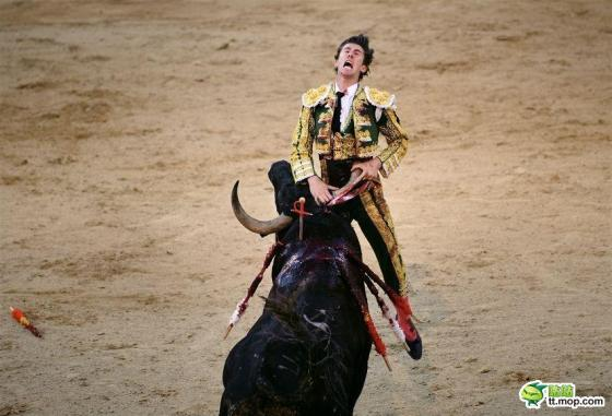 A Spanish matador is gored in his abdomen a bull.