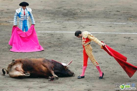 A victorious Spanish matador/bullfighter bows to the dead bull.