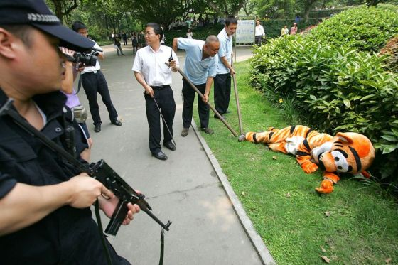 "A ""tranquilized"" escaped tiger at the Chengdu Zoo in Sichuan province, China."