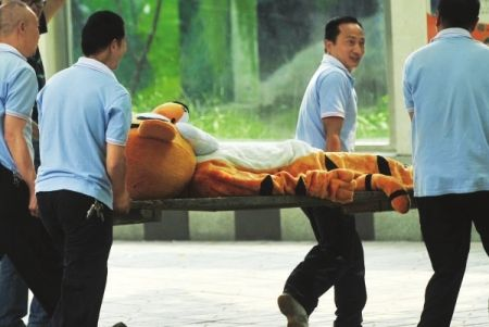 "Chinese zoo workers carrying back the tranquilized ""tiger"", completing the training exercise."