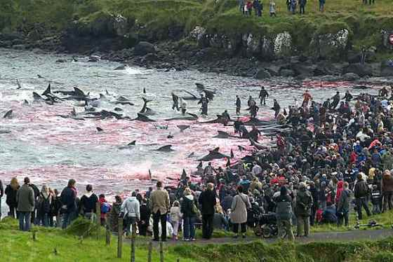 A bloody pilot whale hunt at the Faroe Islands of Denmark.