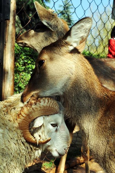 In China, a sheep at the Yunnan Wild Animal Park falling in love with a deer makes news.