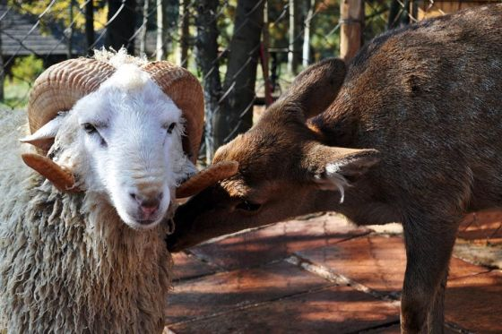 Sheep and Sika deer in love in Yunnan, China.