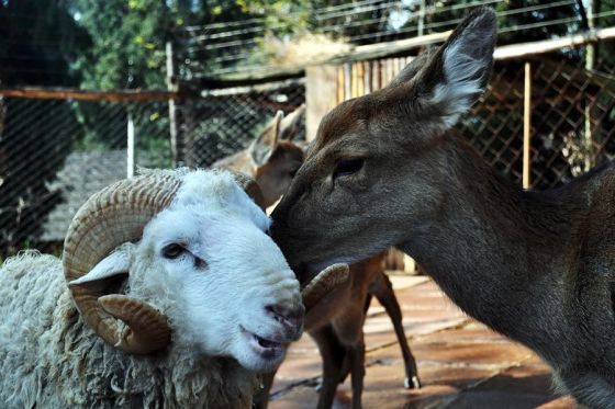 Spotted deer and sheep in love in Yunnan Zoo, in China.