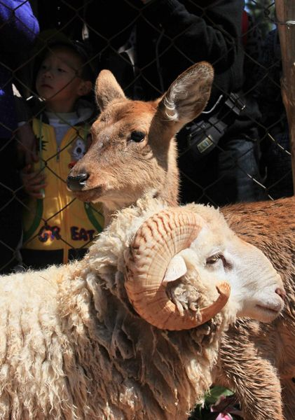 A Yunnan, China zoo has held a wedding ceremony for their celebrity couple: A deer and sheep in love with each other.