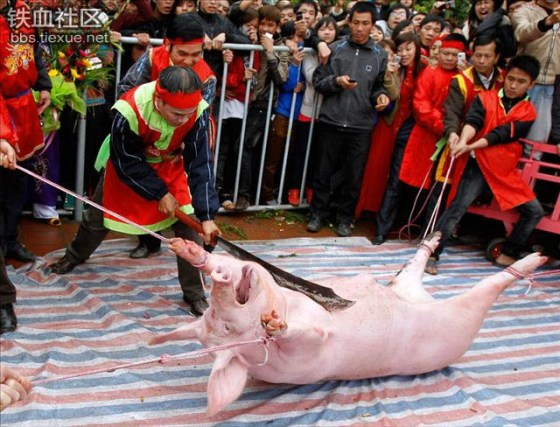 The live pig to be chopped in half during the Doan Thuong festival in Nem Thuong village of Vietnam.