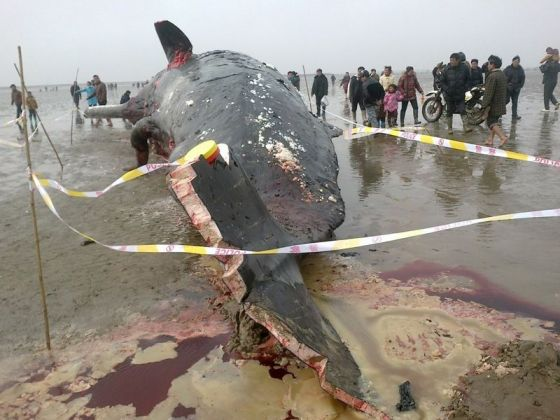 A beached whale in Jiangsu province of China has parts of it hacked off by locals during the night.