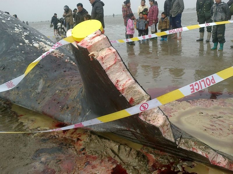 Large chunks of the dead beached whale's tailfin has been cut off by local Chinese.