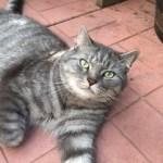 Cute grey tabby cat