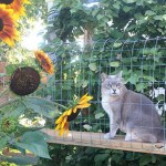 cat sits near sunflowers in catio