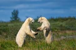 PolarBears-5-Birds&Belugas