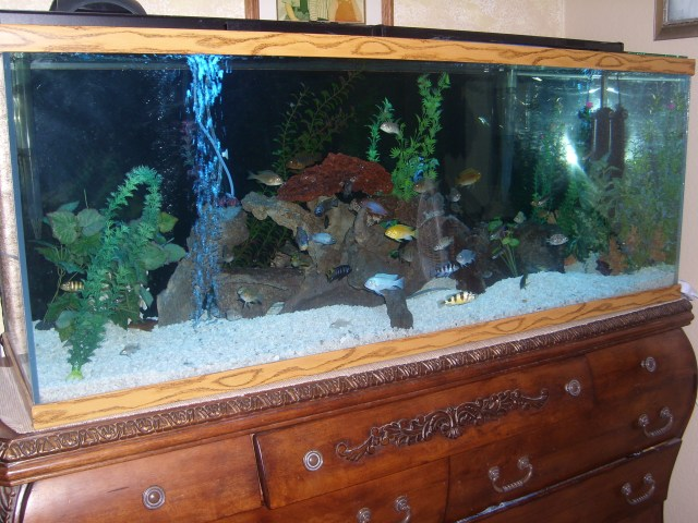 cichlids.com: 100 Gallon Juvie mixed tank