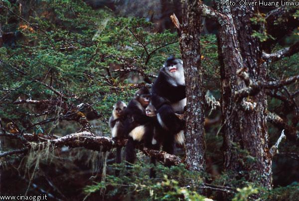 scimmia-naso-patata