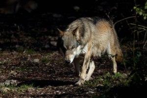 Parco nazionale della Majella, lupo appenninico