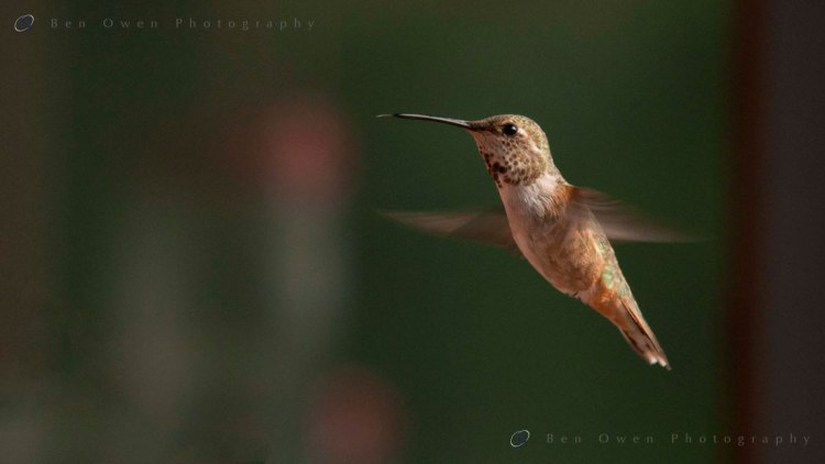 Huming-Bird