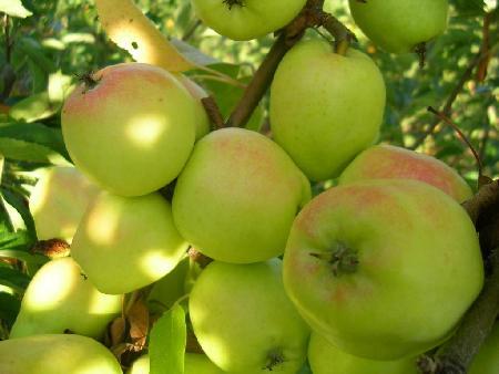 Nuova forma di energia da…gli scarti delle mele!