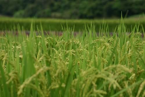 In Cina il riso cresce (anche) sui tetti!