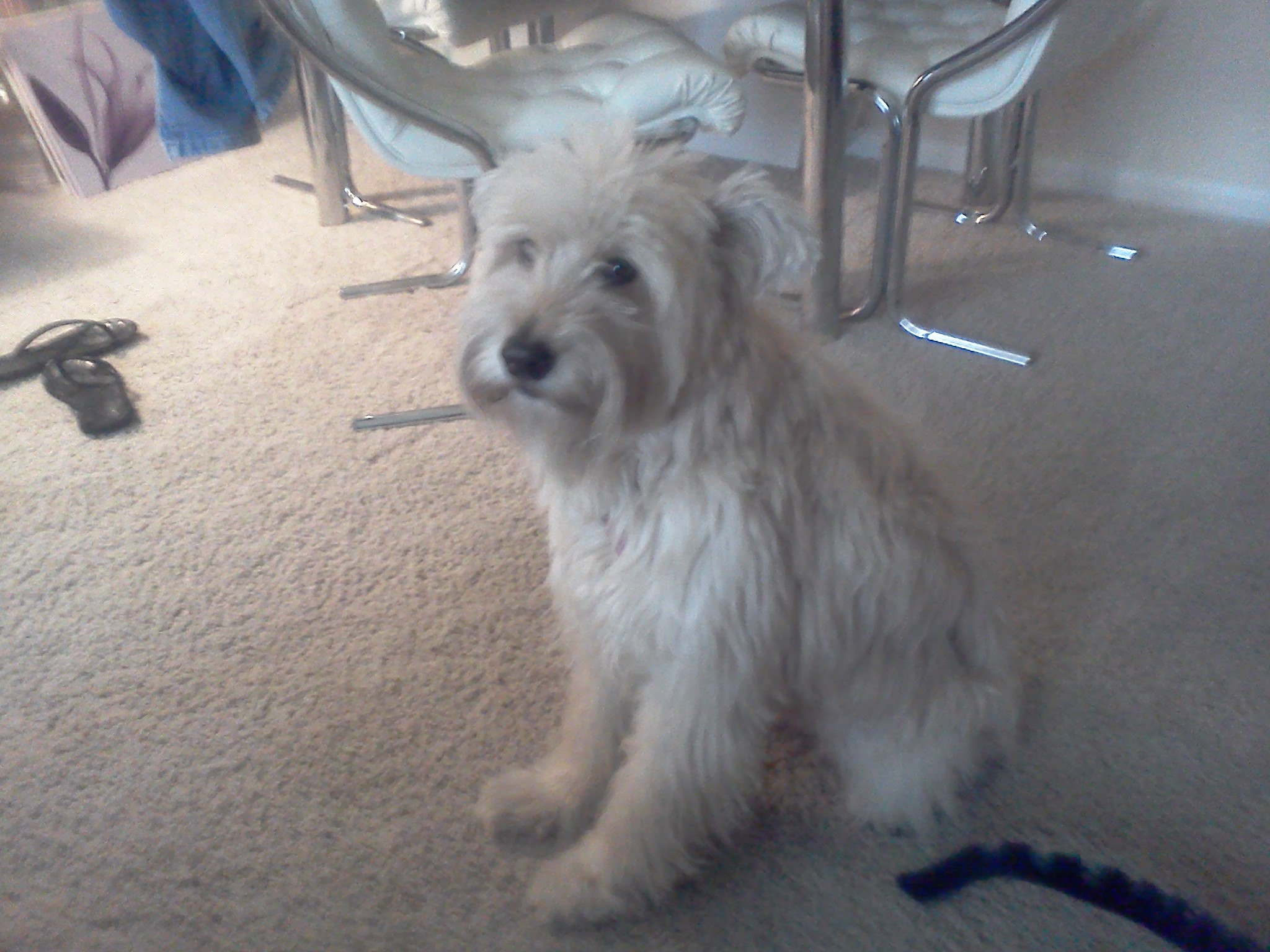 Witching In Search A Young Wheaten Terrier To Adopt Wheaten Terrier Mix Puppies Wheaten Terrier Mix Breeds Search A Young Wheaten Terrier To bark post Wheaten Terrier Mix