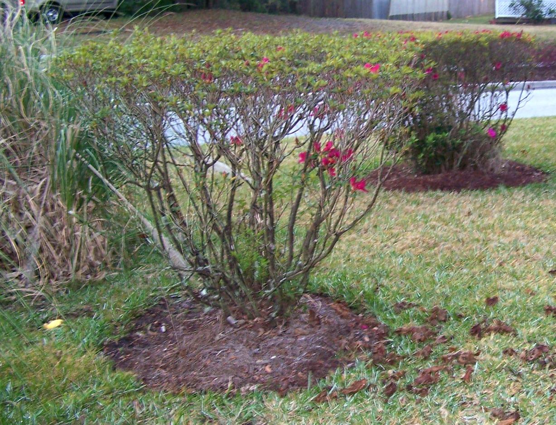 Fullsize Of When To Prune Azaleas