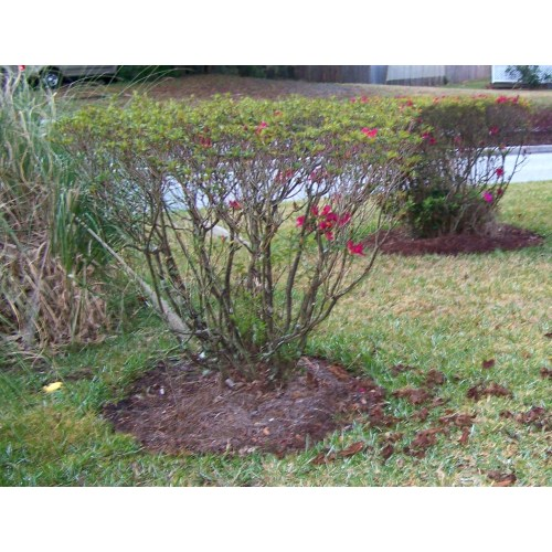 Medium Crop Of When To Prune Azaleas