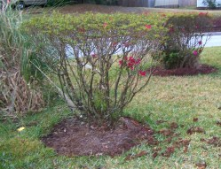 Small Of When To Prune Azaleas