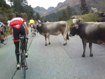 Hurá tedy do sjezdu k cílovému Soldenu. Sice se cyklisté znovu setkávají s místními predátory…tedy krávami, ale ty jsou zjevně na sedativech a devadesátkou jedoucí sportovci těsně za jejich zadky je vůbec nezajímají.