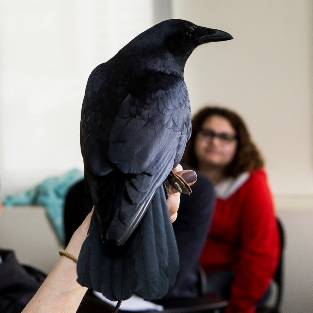 A fish crow visits a 'First-Year Writing' class. Photo by Joseph V. Labolito.