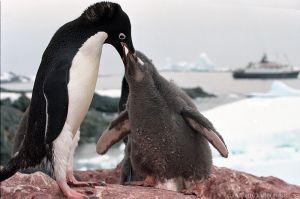 Antarctic_adelie_penguins