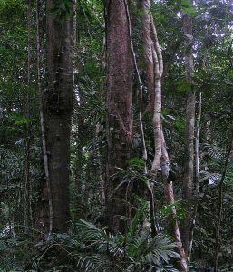 Daintree_Rainforest