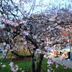 Se un albero fiorito in inverno non fa Global Warming