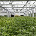 maryland-medical-marijuana-grow1-453x250
