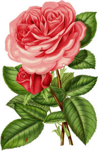 Victorian Pink Rose Clipart.